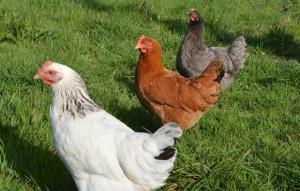 aviaria-comune-tivoli